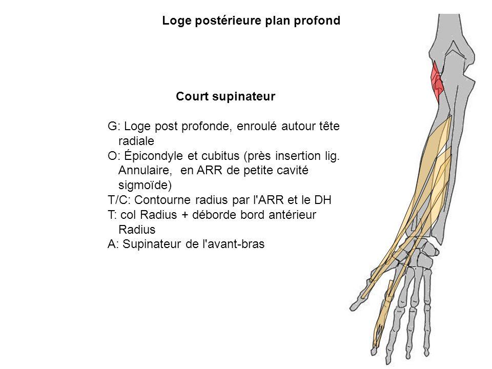 Loge postérieure plan profond Court supinateur G: Loge post profonde, enroulé autour tête radiale O: Épicondyle et cubitus (près insertion lig. Annula