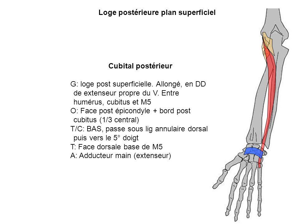 Cubital postérieur G: loge post superficielle. Allongé, en DD de extenseur propre du V. Entre humérus, cubitus et M5 O: Face post épicondyle + bord po
