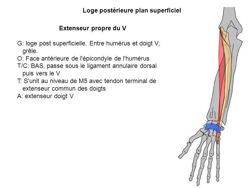 Extenseur propre du V G: loge post superficielle. Entre humérus et doigt V, grêle. O: Face antérieure de l'épicondyle de l'humérus T/C: BAS, passe sou