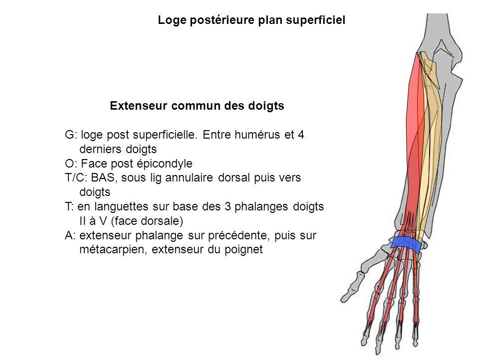 Extenseur commun des doigts G: loge post superficielle. Entre humérus et 4 derniers doigts O: Face post épicondyle T/C: BAS, sous lig annulaire dorsal