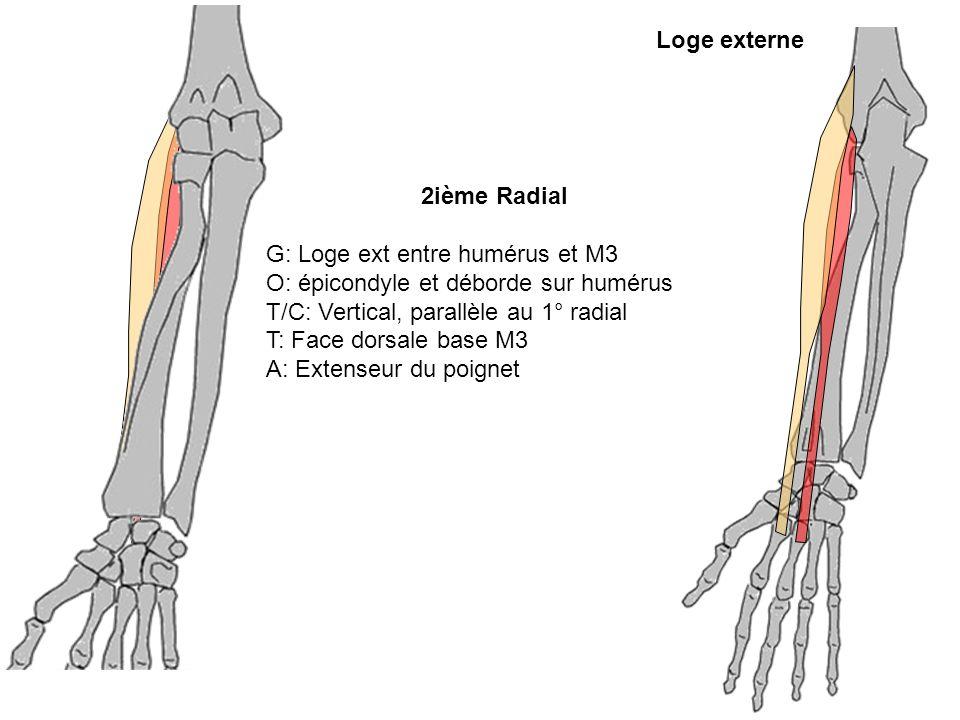 2ième Radial G: Loge ext entre humérus et M3 O: épicondyle et déborde sur humérus T/C: Vertical, parallèle au 1° radial T: Face dorsale base M3 A: Ext