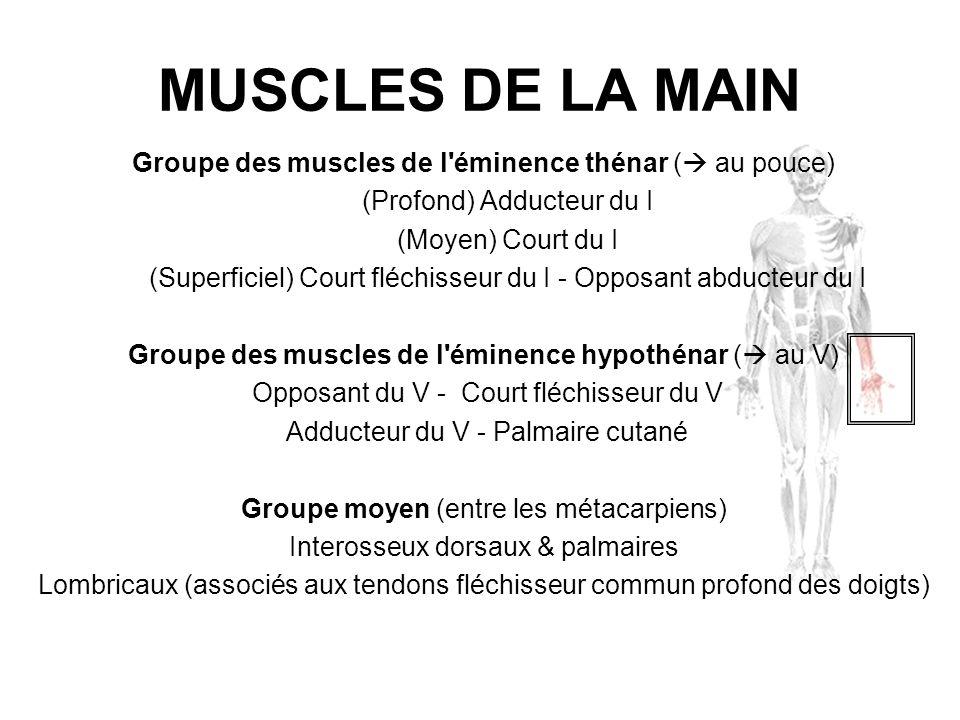 MUSCLES DE LA MAIN Groupe des muscles de l'éminence thénar ( au pouce) (Profond) Adducteur du I (Moyen) Court du I (Superficiel) Court fléchisseur du