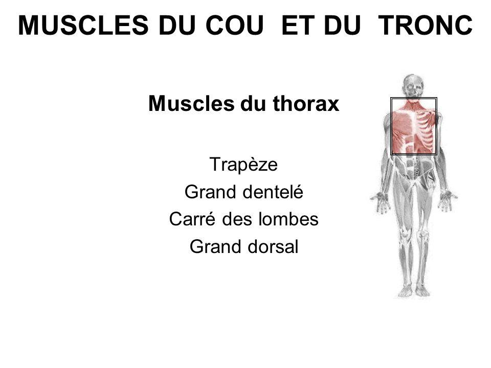 MUSCLES DU COU ET DU TRONC Muscles du thorax Trapèze Grand dentelé Carré des lombes Grand dorsal