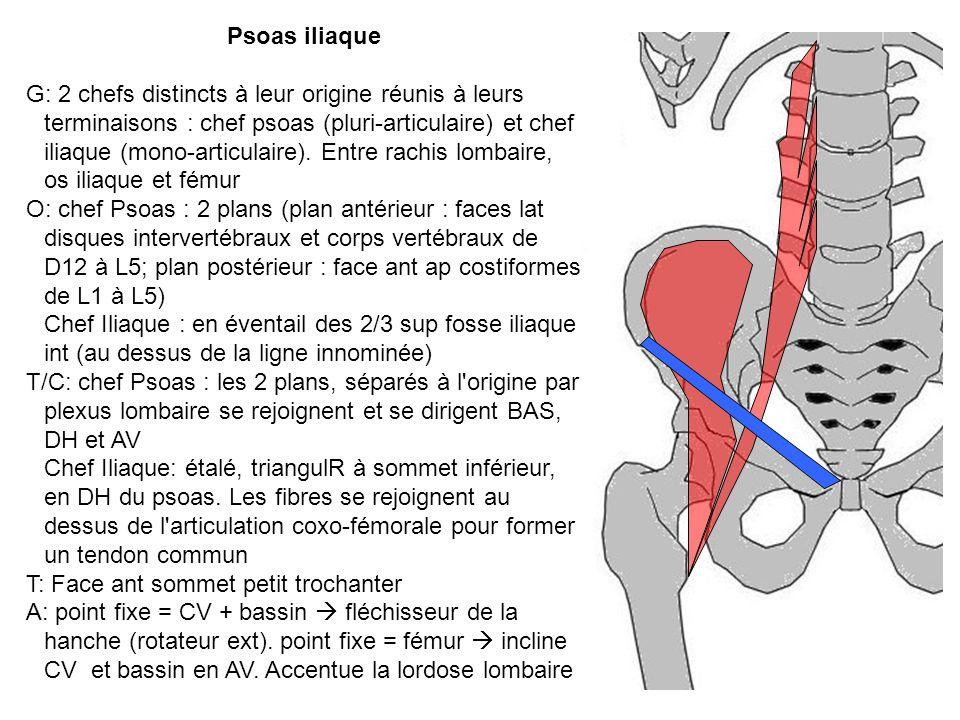 Psoas iliaque G: 2 chefs distincts à leur origine réunis à leurs terminaisons : chef psoas (pluri-articulaire) et chef iliaque (mono-articulaire). Ent