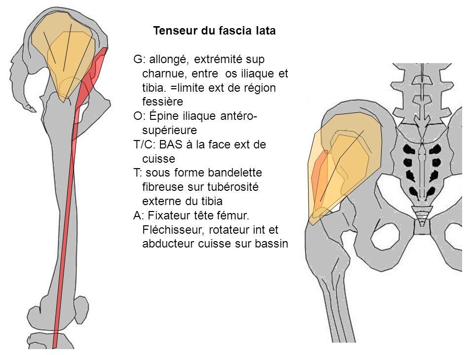 Tenseur du fascia lata G: allongé, extrémité sup charnue, entre os iliaque et tibia. =limite ext de région fessière O: Épine iliaque antéro- supérieur