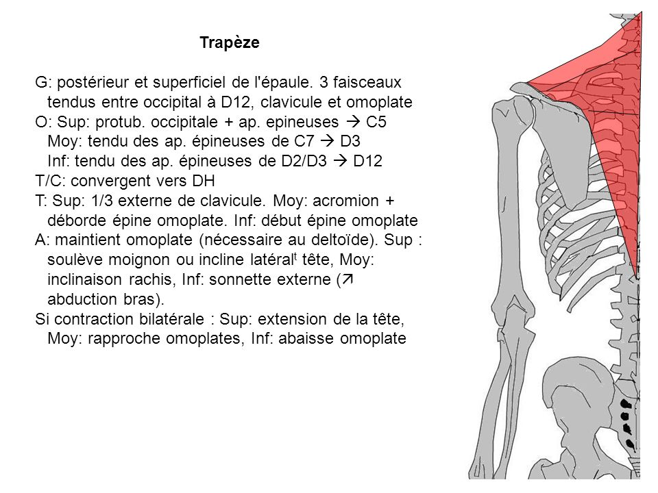 Trapèze G: postérieur et superficiel de l'épaule. 3 faisceaux tendus entre occipital à D12, clavicule et omoplate O: Sup: protub. occipitale + ap. epi