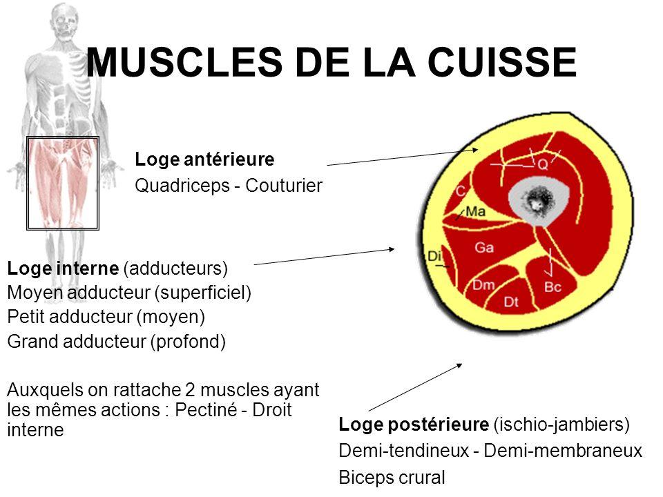 MUSCLES DE LA CUISSE Loge interne (adducteurs) Moyen adducteur (superficiel) Petit adducteur (moyen) Grand adducteur (profond) Auxquels on rattache 2