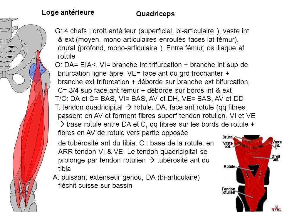 Loge antérieure Quadriceps G: 4 chefs : droit antérieur (superficiel, bi-articulaire ), vaste int & ext (moyen, mono-articulaires enroulés faces lat f