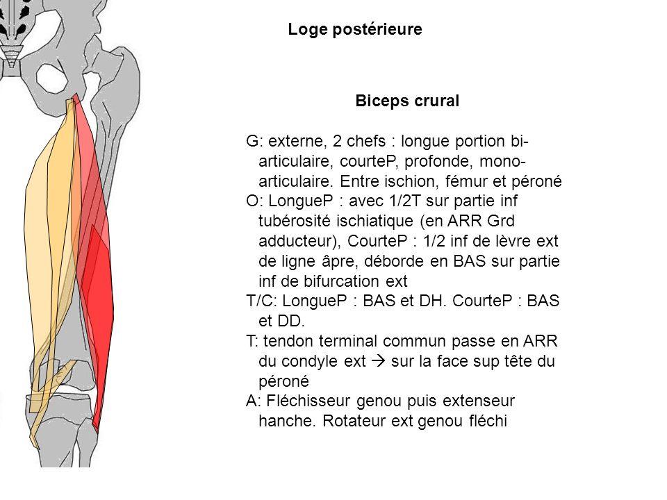 Biceps crural G: externe, 2 chefs : longue portion bi- articulaire, courteP, profonde, mono- articulaire. Entre ischion, fémur et péroné O: LongueP :