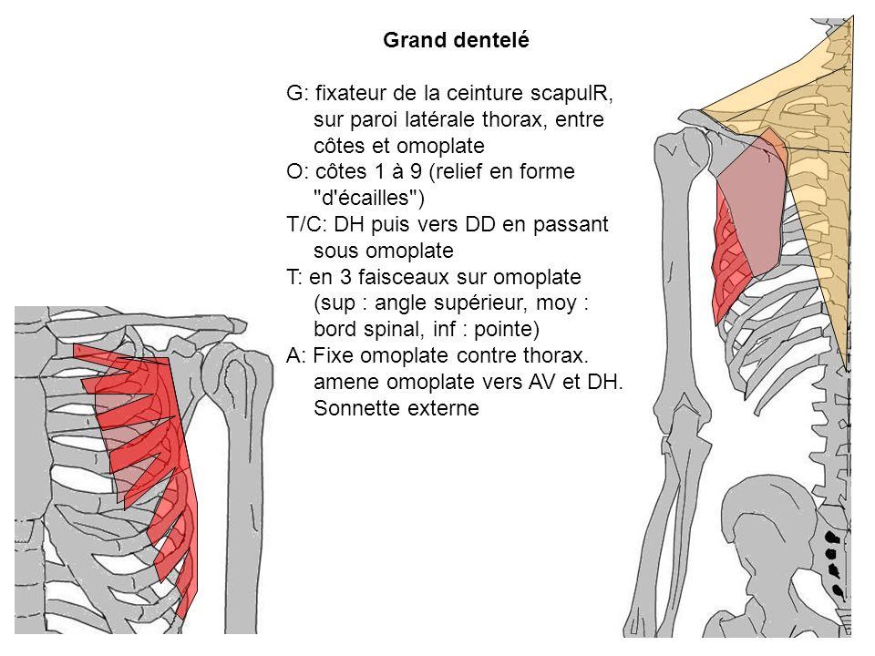 Grand dentelé G: fixateur de la ceinture scapulR, sur paroi latérale thorax, entre côtes et omoplate O: côtes 1 à 9 (relief en forme