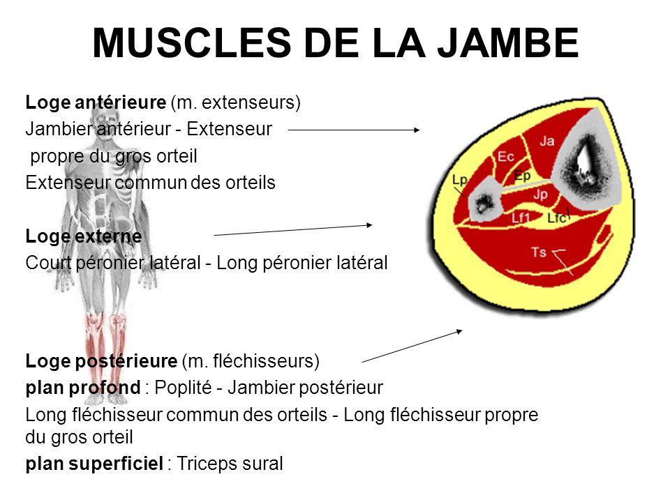 MUSCLES DE LA JAMBE Loge postérieure (m. fléchisseurs) plan profond : Poplité - Jambier postérieur Long fléchisseur commun des orteils - Long fléchiss