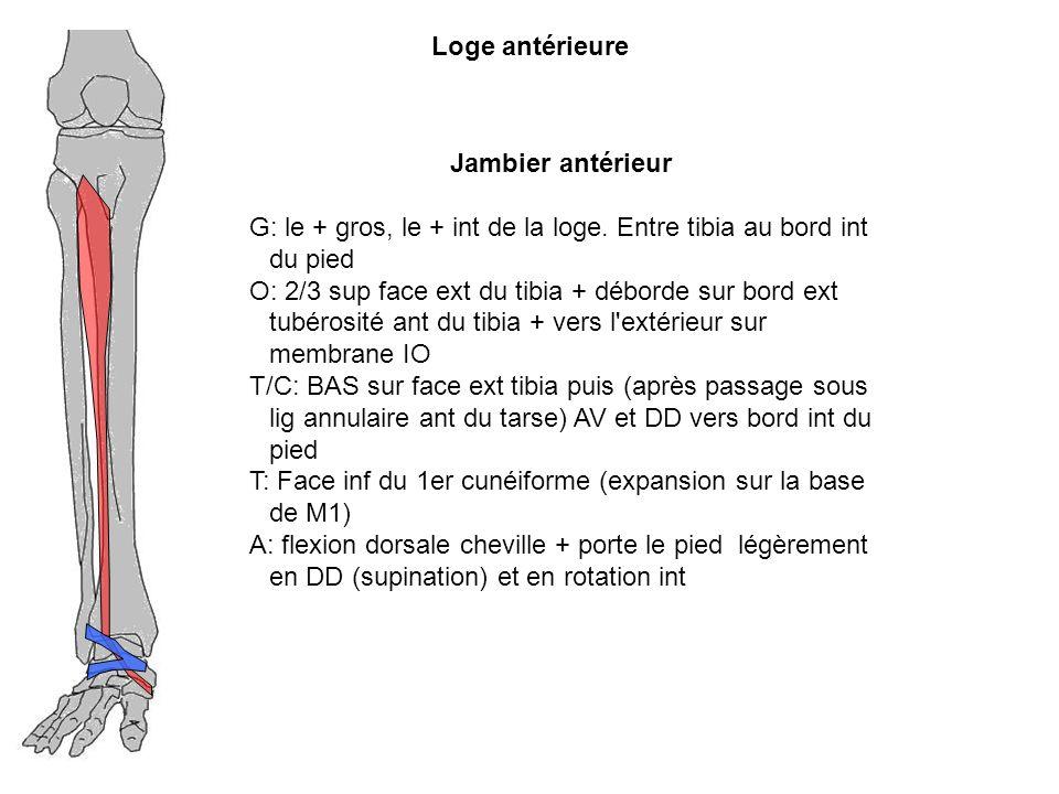 Loge antérieure Jambier antérieur G: le + gros, le + int de la loge. Entre tibia au bord int du pied O: 2/3 sup face ext du tibia + déborde sur bord e