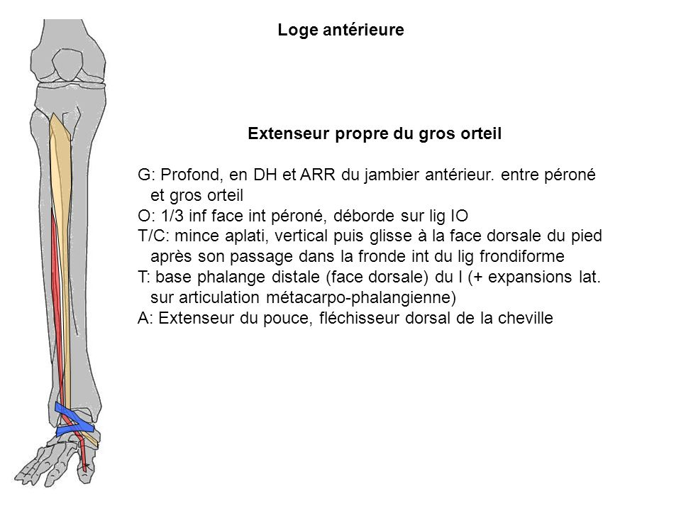 Loge antérieure Extenseur propre du gros orteil G: Profond, en DH et ARR du jambier antérieur. entre péroné et gros orteil O: 1/3 inf face int péroné,