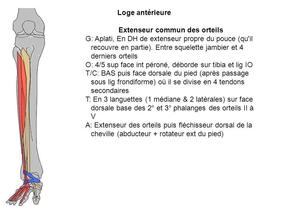 Extenseur commun des orteils G: Aplati, En DH de extenseur propre du pouce (qu'il recouvre en partie). Entre squelette jambier et 4 derniers orteils O