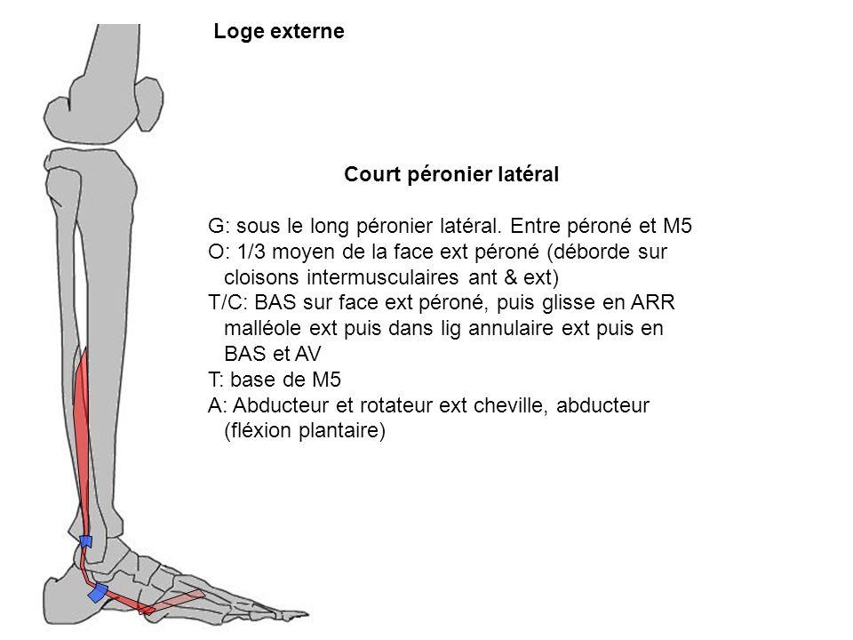 Court péronier latéral G: sous le long péronier latéral. Entre péroné et M5 O: 1/3 moyen de la face ext péroné (déborde sur cloisons intermusculaires