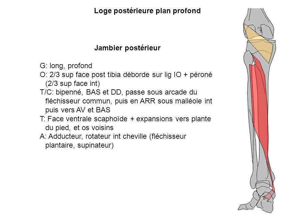 Jambier postérieur G: long, profond O: 2/3 sup face post tibia déborde sur lig IO + péroné (2/3 sup face int) T/C: bipenné, BAS et DD, passe sous arca