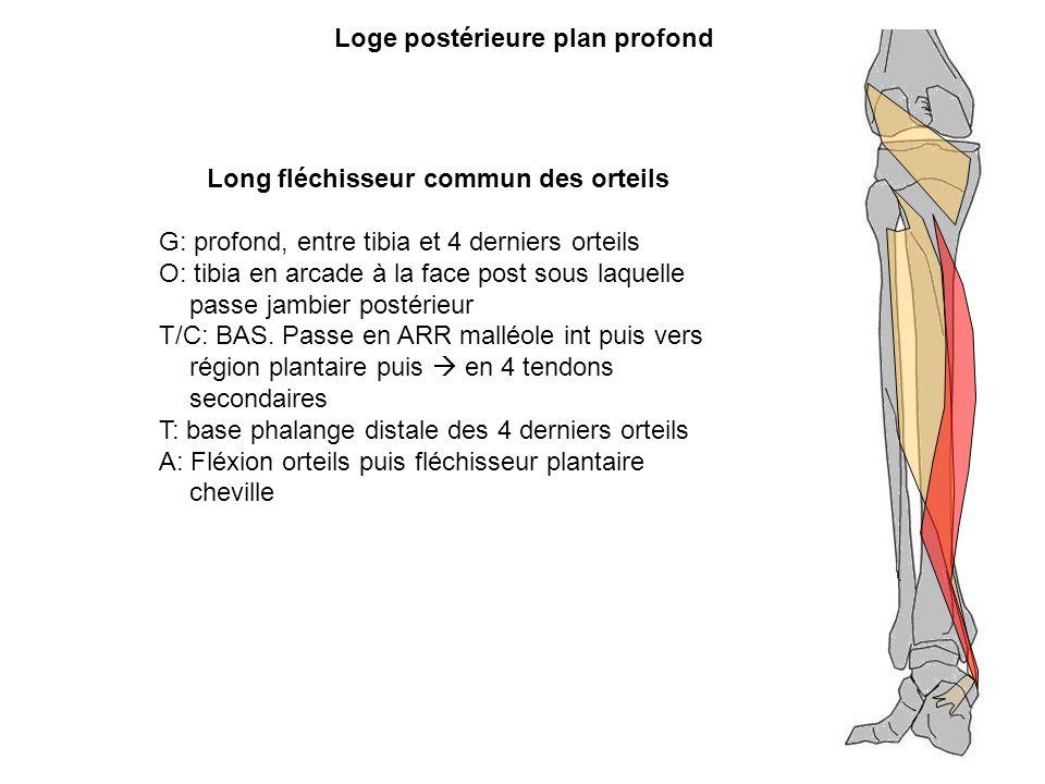 Long fléchisseur commun des orteils G: profond, entre tibia et 4 derniers orteils O: tibia en arcade à la face post sous laquelle passe jambier postér