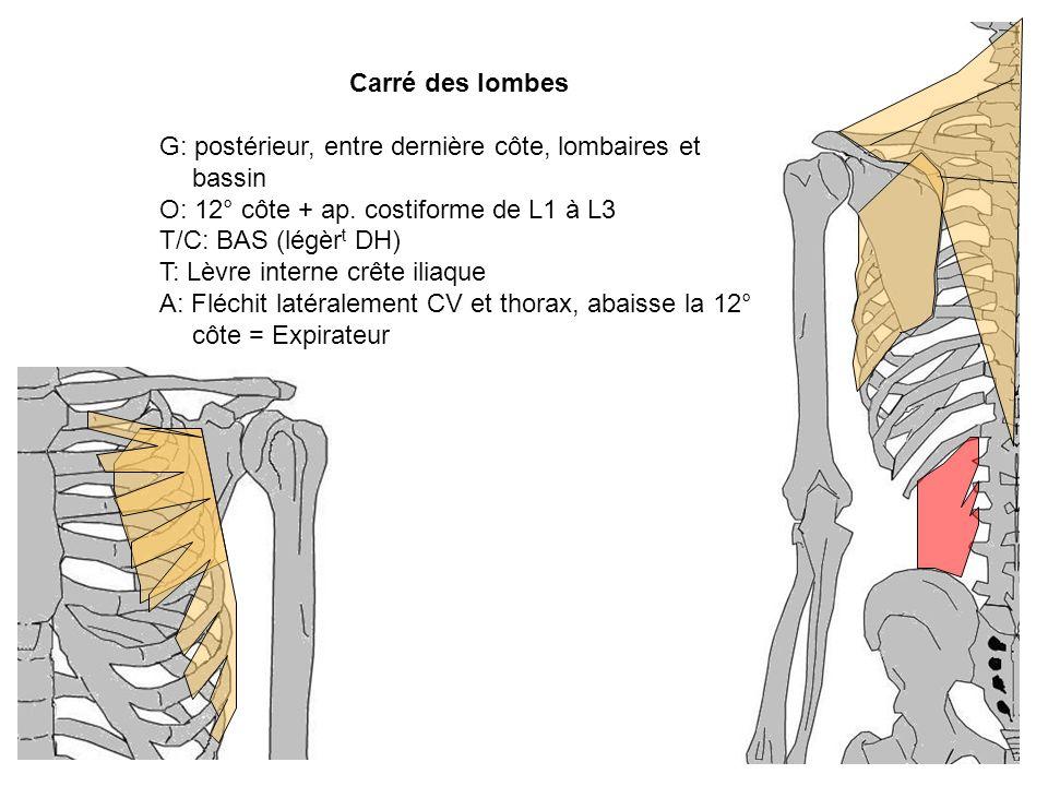 Carré des lombes G: postérieur, entre dernière côte, lombaires et bassin O: 12° côte + ap. costiforme de L1 à L3 T/C: BAS (légèr t DH) T: Lèvre intern