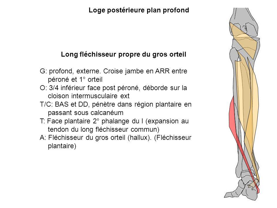 Long fléchisseur propre du gros orteil G: profond, externe. Croise jambe en ARR entre péroné et 1° orteil O: 3/4 inférieur face post péroné, déborde s