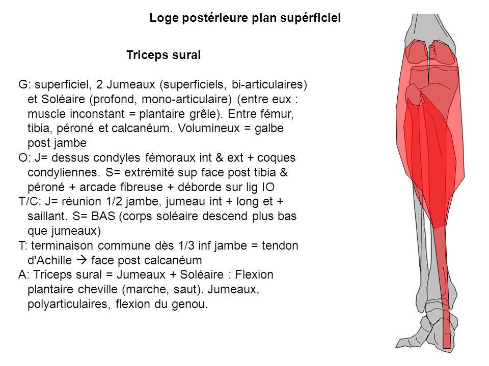 Triceps sural G: superficiel, 2 Jumeaux (superficiels, bi-articulaires) et Soléaire (profond, mono-articulaire) (entre eux : muscle inconstant = plant