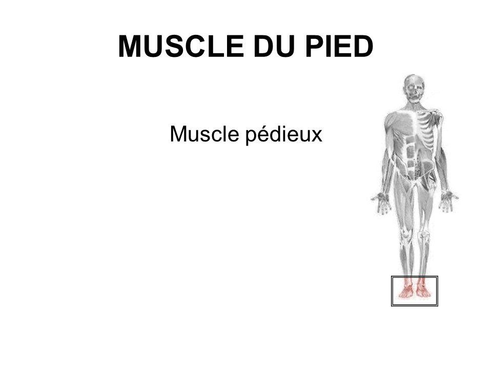 MUSCLE DU PIED Muscle pédieux