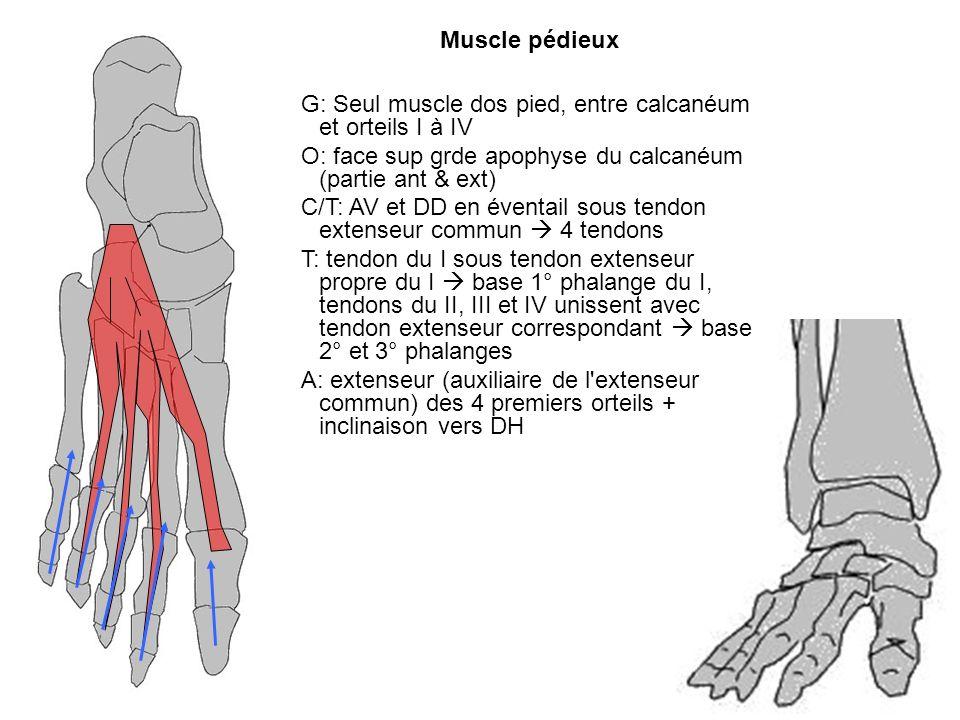 G: Seul muscle dos pied, entre calcanéum et orteils I à IV O: face sup grde apophyse du calcanéum (partie ant & ext) C/T: AV et DD en éventail sous te