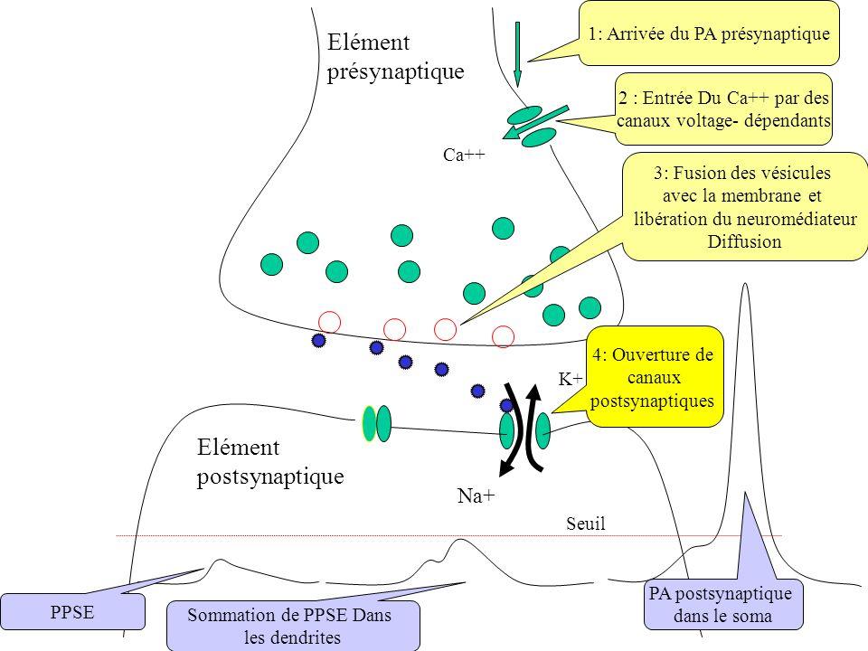 Ca++ Na+ K+ Elément présynaptique Elément postsynaptique Seuil 2 : Entrée Du Ca++ par des canaux voltage- dépendants 1: Arrivée du PA présynaptique 3: