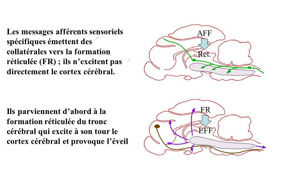 AFF Ret. FR EFF Les messages afférents sensoriels spécifiques émettent des collatérales vers la formation réticulée (FR) ; ils nexcitent pas directeme