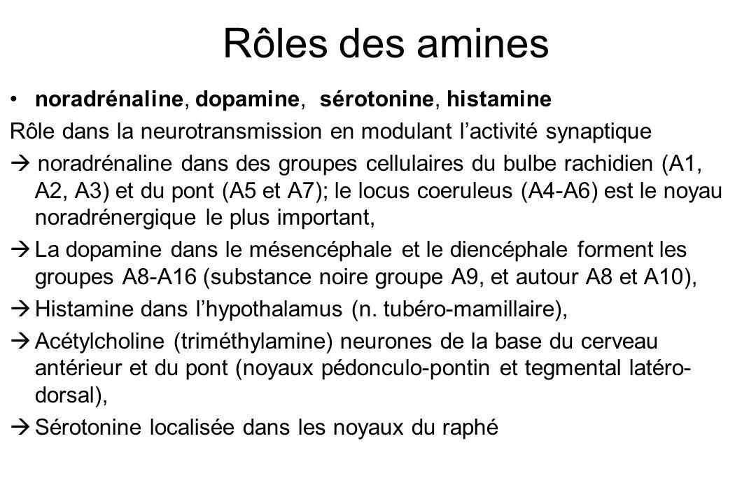 Rôles des amines noradrénaline, dopamine, sérotonine, histamine Rôle dans la neurotransmission en modulant lactivité synaptique noradrénaline dans des