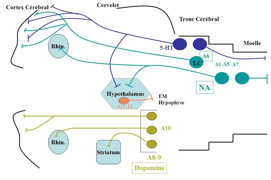 Rhin. Hypothalamus Striatum Cervelet Cortex Cérébral Tronc Cérébral Moelle A8-9 A10 Dopamine 5-HT A1-A5 A7 NA LC A6 EM Hypophyse A11-12
