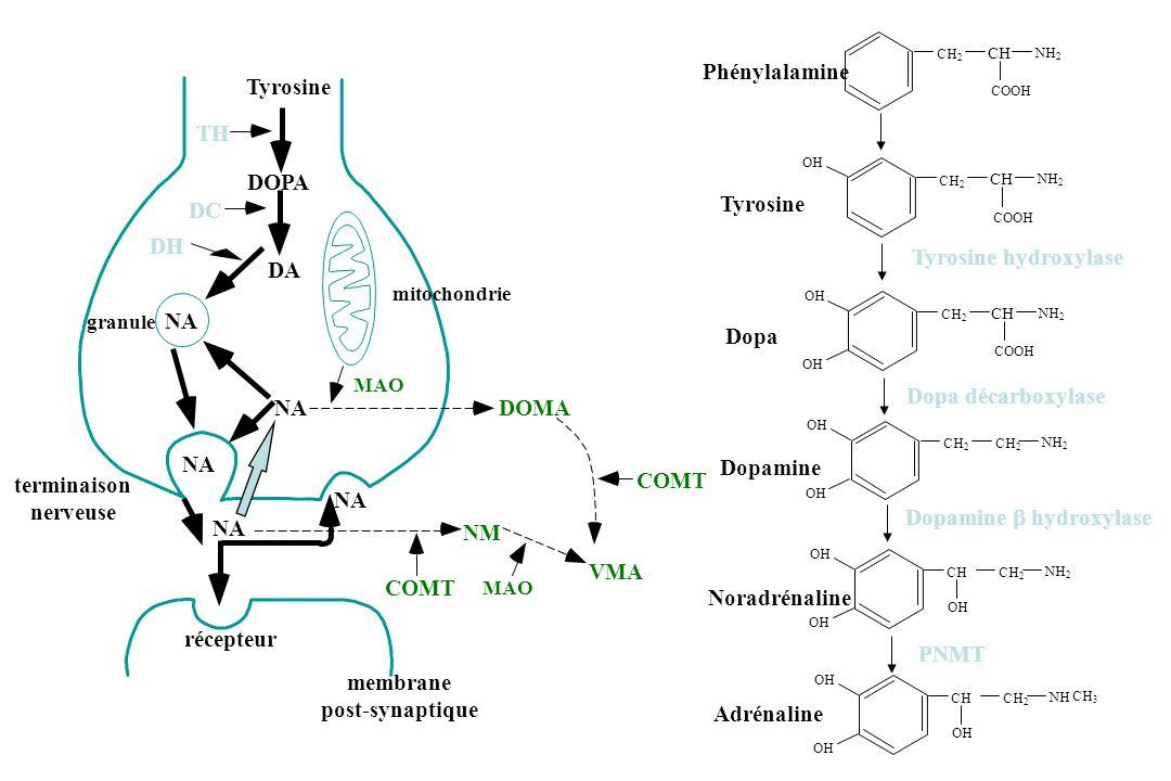 TH DC mitochondrie MAO récepteur membrane post-synaptique Tyrosine DOPA DA NA granule terminaison nerveuse NA NM MAO COMT DOMA VMA COMT DH CH 2 CH COO