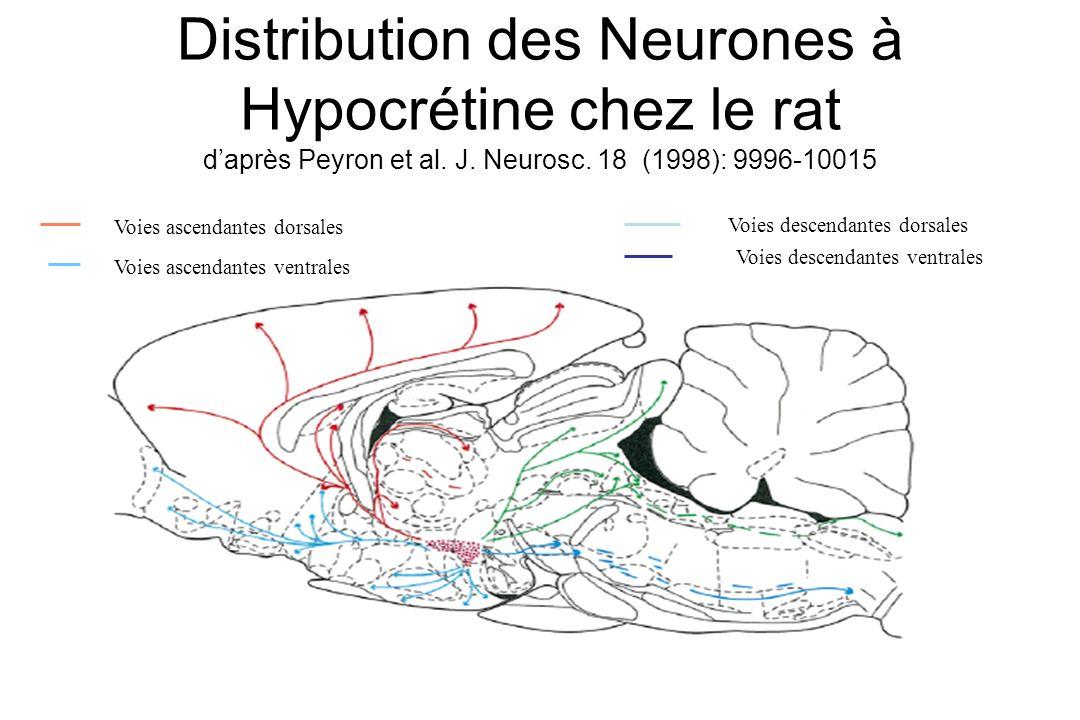 Distribution des Neurones à Hypocrétine chez le rat daprès Peyron et al. J. Neurosc. 18 (1998): 9996-10015 Voies ascendantes dorsales Voies ascendante