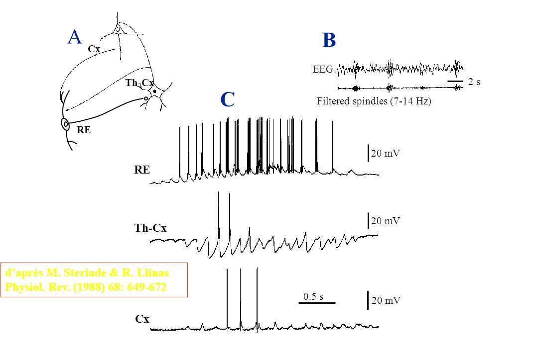 B A 2 s 20 mV C 0.5 s RE Th-Cx Cx RE Cx EEG Filtered spindles (7-14 Hz) Th-Cx daprès M. Steriade & R. Llinas Physiol. Rev. (1988) 68: 649-672