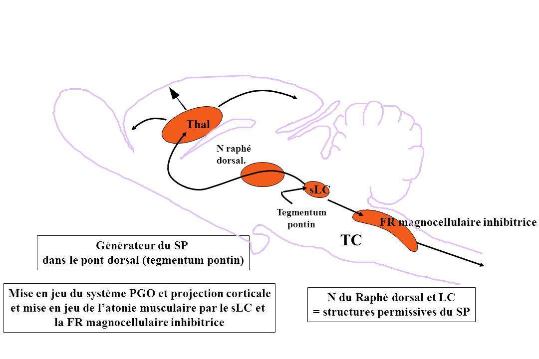 FR magnocellulaire inhibitrice TC Tegmentum pontin N raphé dorsal. Thal N du Raphé dorsal et LC = structures permissives du SP sLC Générateur du SP da