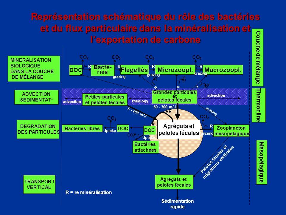 CO 2 Représentation schématique du rôle des bactéries et du flux particulaire dans la minéralisation et lexportation de carbone Grandes particules et