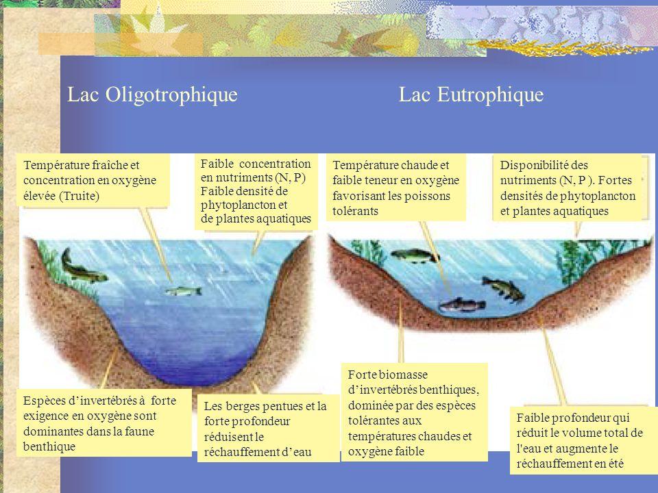 Température fraîche et concentration en oxygène élevée (Truite) Faible concentration en nutriments (N, P) Faible densité de phytoplancton et de plantes aquatiques Espèces dinvertébrés à forte exigence en oxygène sont dominantes dans la faune benthique Les berges pentues et la forte profondeur réduisent le réchauffement deau Température chaude et faible teneur en oxygène favorisant les poissons tolérants Forte biomasse dinvertébrés benthiques, dominée par des espèces tolérantes aux températures chaudes et oxygène faible Faible profondeur qui réduit le volume total de l eau et augmente le réchauffement en été Lac OligotrophiqueLac Eutrophique Disponibilité des nutriments (N, P ).