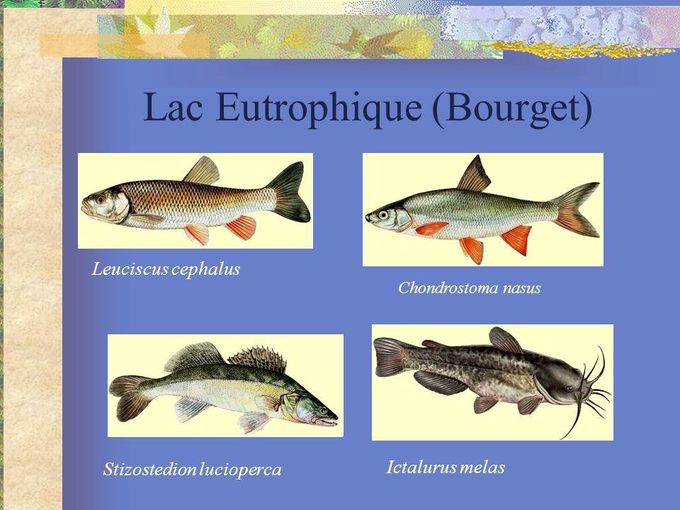 Lac Eutrophique (Bourget) Chondrostoma nasus Leuciscus cephalus Stizostedion lucioperca Ictalurus melas