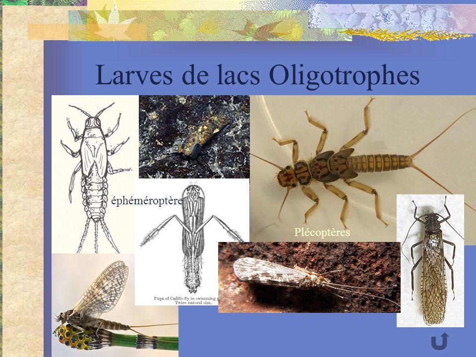 Larves de lacs Oligotrophes éphéméroptère Plécoptères