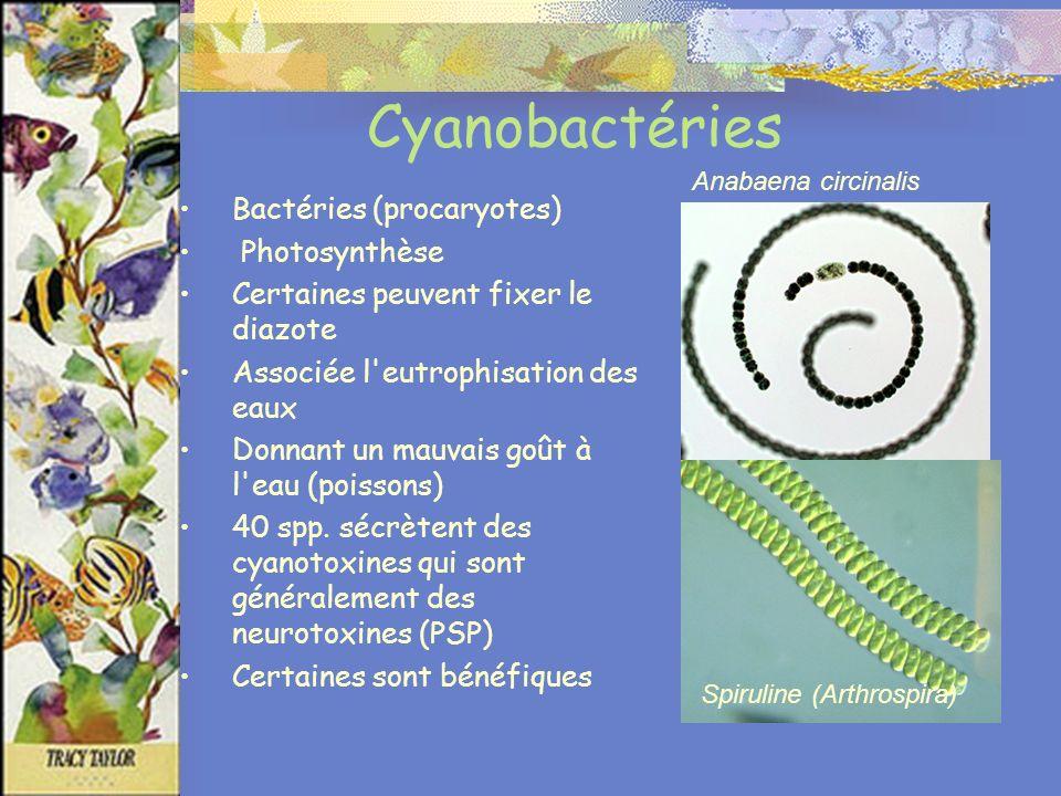 Cyanobactéries Bactéries (procaryotes) Photosynthèse Certaines peuvent fixer le diazote Associée l eutrophisation des eaux Donnant un mauvais goût à l eau (poissons) 40 spp.