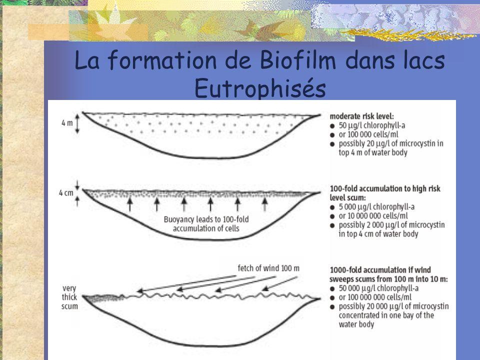 La formation de Biofilm dans lacs Eutrophisés