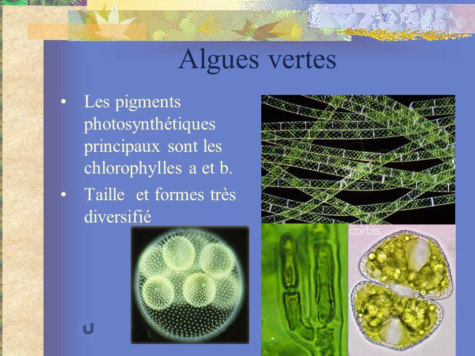 Algues vertes Les pigments photosynthétiques principaux sont les chlorophylles a et b. Taille et formes très diversifié Pediastrum simplex