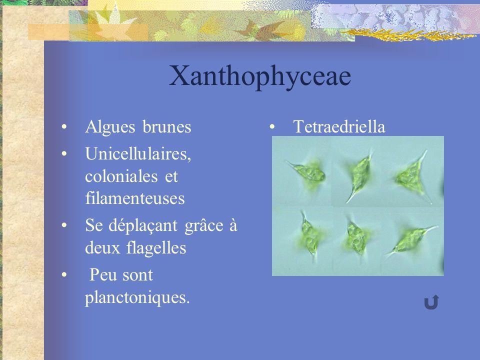 Xanthophyceae Algues brunes Unicellulaires, coloniales et filamenteuses Se déplaçant grâce à deux flagelles Peu sont planctoniques. Tetraedriella