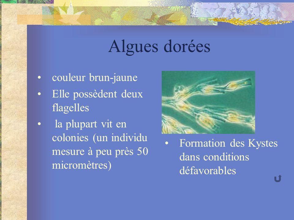 Algues dorées couleur brun-jaune Elle possèdent deux flagelles la plupart vit en colonies (un individu mesure à peu près 50 micromètres) Formation des Kystes dans conditions défavorables