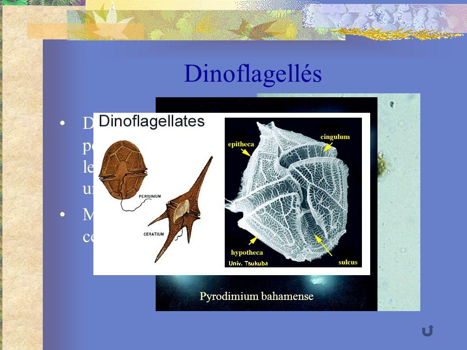 Dinoflagellés Deux flagelles perpendiculaires dont le mouvement produit un tourbillon Membrane cellulosique rigide Pfesteria Pyrodimium bahamense