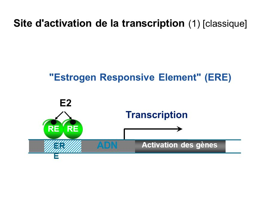 AP1 Element Fos Jun RE E2 Transcription Une autre voie d activation de la transcription via le site AP 1 Activation des gènes AP1 Site d activation de la transcription (2) [non classique]