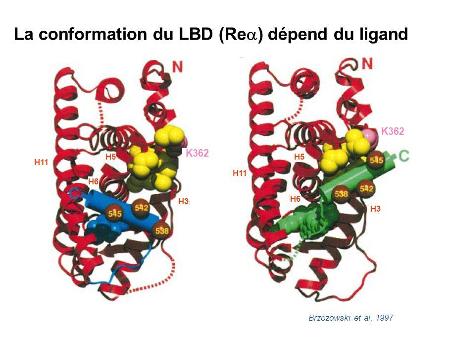 La conformation du LBD (Re ) dépend du ligand E H9 N H1 H6 H7 H8 H10 H11 H3 S1 + œstrogène + antiœstrogène H2 S2 H4 H5 C H12 H9 N H1 H6 H7 H8 H10 H11 H3 S1 H2 S2 H4 H5 C H12 AE E