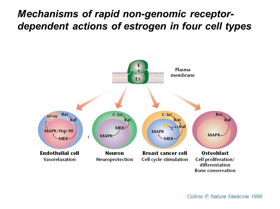 Mechanisms of rapid non-genomic receptor- dependent actions of estrogen in four cell types Collins P, Nature Medicine 1999