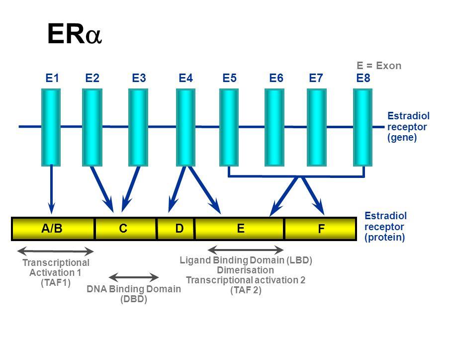 CYTOPLASME RE ERE NOYAU Activation de la transcription Œstrogènes (Gènes hormono- dépendants) Cellule épithéliale du cancer du sein HSP90 AF2 AF1 Cellule