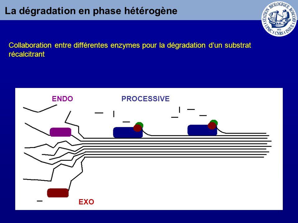 La dégradation en phase hétérogène Collaboration entre différentes enzymes pour la dégradation dun substrat récalcitrant ENDO EXO PROCESSIVE