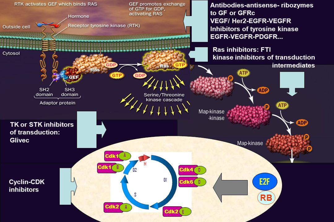 From Lehninger, 2000 G1 G2 S M Cdk4 D Cdk6 D Cdk2 E Cdk1 B A Cdk2 A E2F Antibodies-antisense- ribozymes to GF or GFRc VEGF/ Her2-EGFR-VEGFR Inhibitors